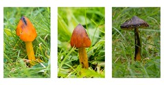 triptych (frattonparker) Tags: nikond600 tamron90mmmacro11 waxcap northwoodcemetery isleofwight raw lightroom6 frattonparker btonner fungi