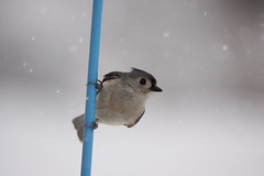 Do you have food? (Shutter Photography & Hot Rod Images) Tags: bird titmouse cold winter snow outdoors canon50d nature