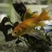 Goldfish #3, Geilston Bay