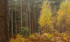 layers (markhortonphotography) Tags: autumn conifer pine markhortonphotography leaf fall rhododendron colour leaves surrey fern thatmacroguy surreyheath silverbirch texture deepcut bark bracken