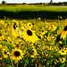 Arizona Sunflowers