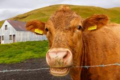 A cow (Rodney Topor) Tags: iceland skogar farm animal cow canonef1635mmf4lisusm