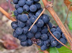 Let's get ready to rumble! (Goruna) Tags: grapes grapevine trauben vine vineyard fruits goruna