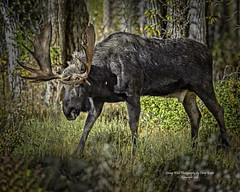 Bull Moose On Patrol (Hawg Wild Photography) Tags: moose wildlife nature animal grand teton tetons national park jackson hole wyoming terrygreen nikon hawg wild photography
