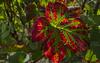Wine leaf painting (KF-Photo) Tags: blattadern blattstrukturen durchlicht metzingen rebe rotgrünkontrast weinberg weinblatt