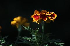 Marigold_2016 (Zygmunt Su...) Tags: saveearth fantasticflower flowerscoloronly marigold zygmuntsu