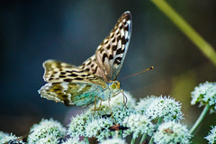 mr. butterfly (LiterallyPhotography) Tags: blume flower butterfly insect auge flgel wing