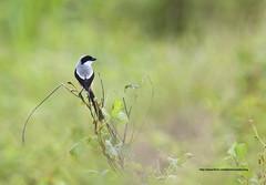 Long Tailed Shrike (zulbaning) Tags: longtailedshrike laniusschach tirjupekorpanjang