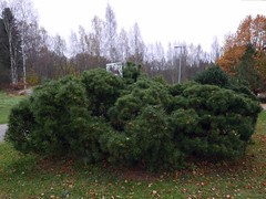 Forbitten bush (neppanen) Tags: sampen discounterintelligence helsinki helsinginkilometritehdas suomi finland piv76 reitti76 pivno76 reittino76 koirakielto