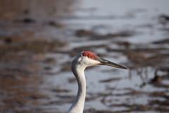 DSC_0089 (Crunch53) Tags: sandhill crane bird birds michigan outdoors
