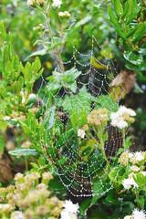 fray jorge 3 (Marce Lefort) Tags: araña frayjorge parquenacional chile neblina gotas freedom nature green plants coquimbo