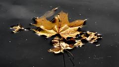 Auf der Naab treibendes Laub // Autumn in the forest (seyf\ART) Tags: macro nahaufnahmen flowers blten herbst autumn