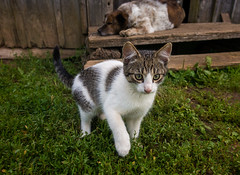 Show me that camera (paulius.malinovskis) Tags: sony sonya7r summer lithuania countryside nature vacation cottage dog cat play explore young kitten interested