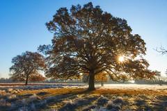 Mighty Oak (paulinuk99999 - tripods are for wimps :)) Tags: paulinuk99999 frost morning november 2016 bushy park london surrey landscape sunrise starlight