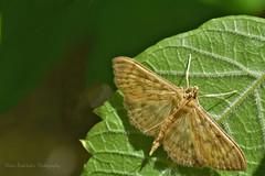 Pleuroptya ruralis Crambidae (Nikos Roditakis) Tags: pleuroptya ruralis crambidae mother pearl cretan butterflies greek european nikos roditakis nikon d5200 macro tamron af sp 90mm f28 di vc usd