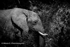 DSC02518.jpg (ChrMous) Tags: addoelephantnationalpark savanneolifant southafrica zoogdieren zuidafrika tamronsp150600mmf563 zwartwit sonyslta99 animals 2016 easterncape diereninhetwild africanbushelephant loxodontaafricana