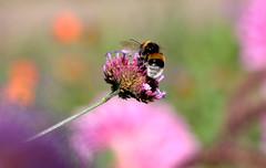 Little Bee at work (inge_rd) Tags: biene summer color farbenfroh bunt bienchen blte schrfentiefe bokeh bee honey closeup makro
