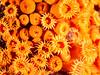 Yellow cup coral I (altsaint) Tags: 45mm gf1 panasonic sardinia coral macro mediterranean scuba underwater