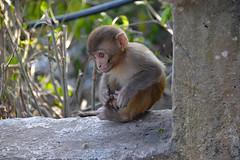 DSC_3459monkey (BasiaBM) Tags: swayambhunath monkey temple kathmandu nepal