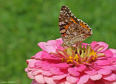 Painted Lady on a Zinnia flower (Darea62) Tags: painted lady butterfly zinnia flower vanessa cardui cardo animal insect wings nature summer wildlife garden cynthia petals pollen