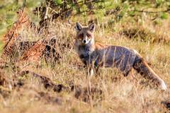 Renard roux en chasse  la fin du jour (sfrancois73) Tags: mammifre renardroux faune