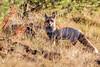 Renard roux en chasse à la fin du jour (sfrancois73) Tags: mammifère renardroux faune