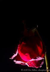 Tired (Classicpixel (Eric Galton) Photography Portfolio) Tags: rose tired fatigue red rouge flower fleur dead mort death naturemort light shadow lumire ombre nikon nikkor 55mmf35macro d800e ericgalton classicpixel