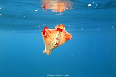 IMG_0194 copy (Aaron Lynton) Tags: spanish dancer snorkel scooter maui hawii hawaii canon g1x spanishdancer turtle honu tako octopus ocean animals papio yellowspotpapio starfish