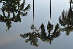 Reflets. (Claudia Sc.) Tags: brsil brasil brazil saopaulo jardin botanique vgtal v