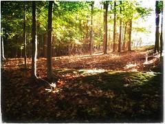 (Ruth Nicholas) Tags: woodlands earlymorningsun streamingsunshine greenfoliage falltrees leafyforestfloor autumnbeauty refreshingnature peacefulscenery woods changeofseason