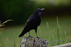 Raven says this spot is mine (Luke6876) Tags: australianraven raven corvid bird animal wildlife australianwildlife