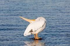 Pelican head rub (Ollie girl) Tags: feathers whit rub bird morning lake dallas pelican