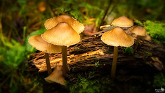 Fungi (BraCom (Bram)) Tags: bracom herfst autumn fall mushroom fungi paddestoel closeup moss mos dof depthoffield wood hout deadwood doodhout nature natuur bergenopzoom noordbrabant northbrabant nederland netherlands holland canoneos5dmkiii widescreen canon 169 canonef24105mm bramvanbroekhoven nl