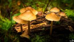 Fungi (BraCom (Bram)) Tags: bracom herfst autumn fall mushroom fungi paddestoel closeup moss mos dof depthoffield wood hout deadwood doodhout nature natuur bergenopzoom noordbrabant northbrabant nederland netherlands holland canoneos5dmkiii widescreen canon 169 canonef24105mm bramvanbroekhoven nl