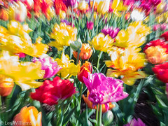 Tulips in the Wind (Les_Williams) Tags: mtvernon flowers flora tulipfestival nature