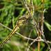 20150701_03 Yellow dragonfly | Ullahau, Fårö, Gotland, Sweden