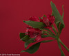 "Autumn, in the livingroom ""Alstroemeriaceae"" (A.J. Boonstra) Tags: alstroemeria flower indoor autumn alstroemeriaceae ef100mmf28lmacroisusm canon canoneos canon70d falconeyesskk2150d"