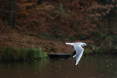 Carr Mill Gull (1 of 1) (g8196895) Tags: gull white nature wildlife carr mill dam water