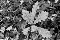 feuille (fotoleder) Tags: nb monochrome bw noretblanc fotoleder ville plantes feuilles nature arbres automne extérieur