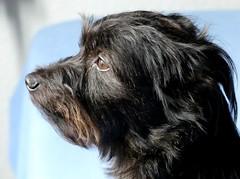 Buddylein (BrigitteE1) Tags: buddylein buddy mrb mybestfriend meinbesterfreund hund dog yorkeshire
