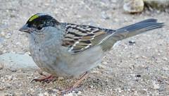 Golden-crowned Sparrow - Los Liones Cyn. (weezerbee9) Tags: