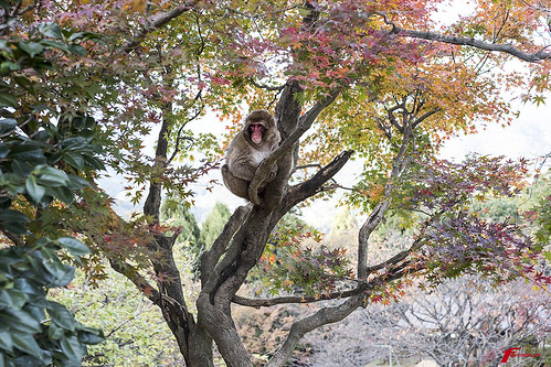 Wild monkey Kyoto