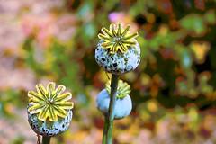 Poppy Pods! (maginoz1) Tags: flower flora poppypods butterfly summer december 2016 bullarosegarden melbourne victoria australia g3x canon alisterclarkmemorialgardenbulla