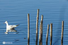 (Alain Bachellier) Tags: ballade banlieueparisienne environnement etang grigny lac mouette nature promenade