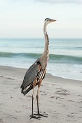 2013-140 (12Jeepgirl~Never look back...) Tags: ocean bird beach nikon gulf florida crane manasotakey d700