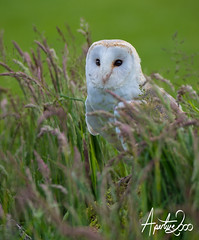 Barn Owl in long grass (TheApertureMan) Tags: birds workshop falcon raptors birdsofprey falconry sionhall sionhallfalconrycentre