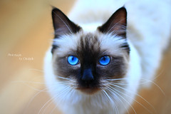 Chilli 4 (SuperNiima) Tags: pet cute cat blueeyes ragdoll