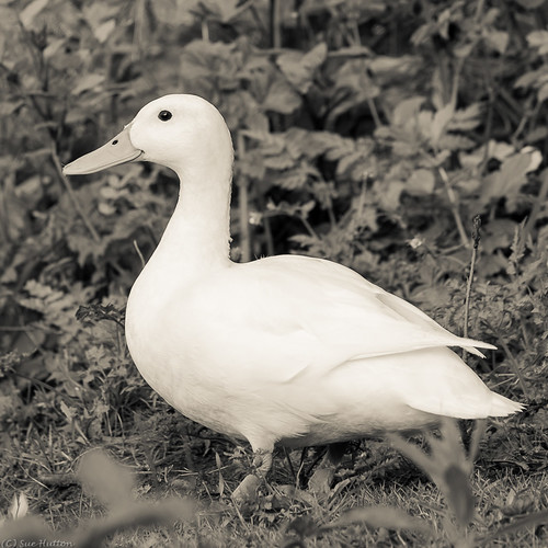 A Very White Duck