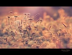angelic seduction / angyali csbts (heizer.ildi) Tags: light sunset summer flower nature field grass me2youphotographylevel1