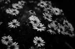 Grainy Flowers (Canon FTb, Ilford HP5) (baumbaTz) Tags: blackandwhite bw film monochrome analog canon germany deutschland 50mm blackwhite atl grain ishootfilm ilfordhp5 49 epson sw hp5 analogue monochrom grayscale expired schwarzweiss ilford analogphotography stade korn 2200 greyscale ftb niedersachsen lowersaxony canonftb filmphotography jobo fpp v500 ql adox filmisnotdead autolab 2013 analoguephotography canonftbql kutenholz filmforever atomal epsonv500 adoxatomal49 filmphotographyproject atl2200 canon50mmf18sc joboautolabatl2200